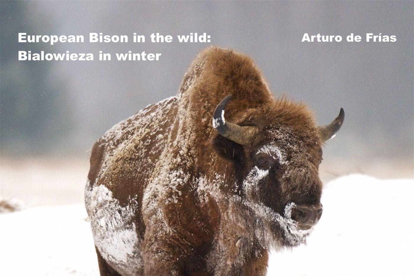 european bison in Bialowieza